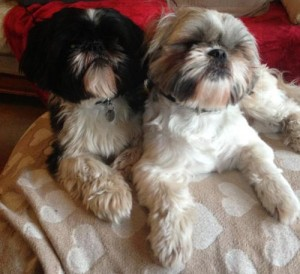Simba and Ollie Shih Tzus Gill Washington