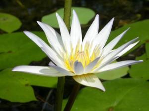 Lotus Allspirit